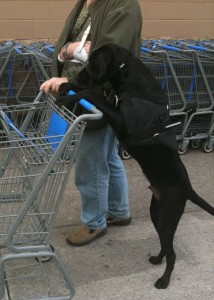 Argus a Service Dog Learns to Push A Shopping Cart