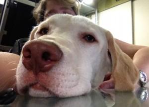 medical alert puppy already trained breeder trainer st louis chicago kansas city iowa illinois dog training classes class nosework